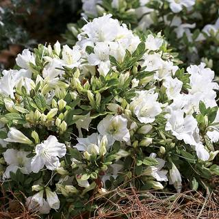 Azalea Bloom-a-Thon® White Image