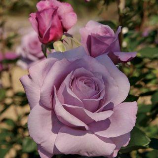 Sweetness Grandiflora Rose Image