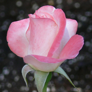 April in Paris Hybrid Tea Rose Image