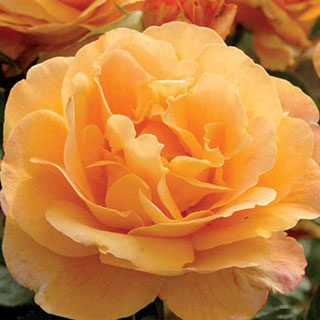 Strike It Rich® Grandiflora Rose Image