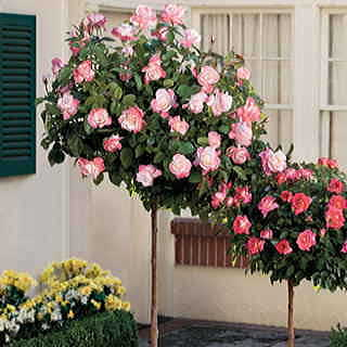 'April in Paris' 36-inch Standard Tree Rose