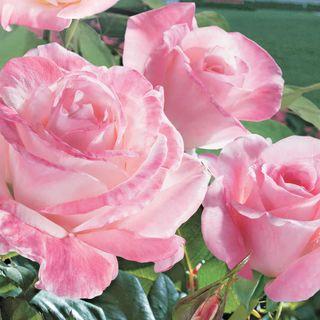 April in Paris 36-inch Standard Tree Rose