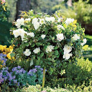 'Pope John Paul II' 36-inch Standard Tree Rose