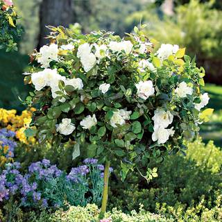'Pope John Paul II' 36-inch Tree Rose