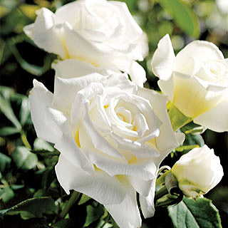 Pope John Paul II 36-inch Tree Rose Image