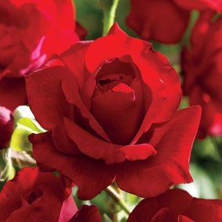 Black Cherry™ Floribunda Rose