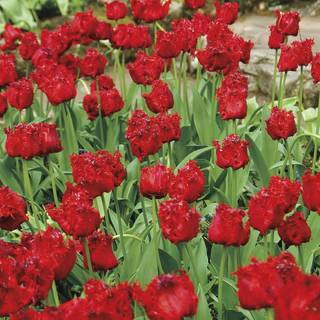 Barbados Tulip - Pack of 10