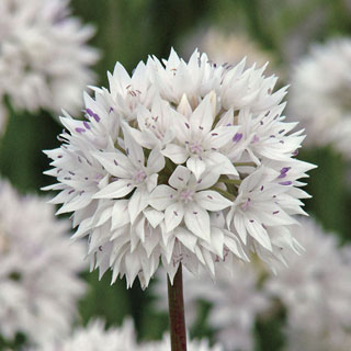 Allium 'Graceful Beauty'