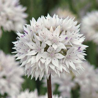 Allium 'Graceful Beauty' Image