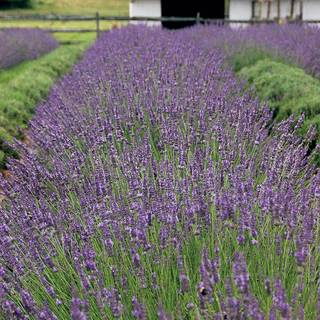 Phenomenal Lavender