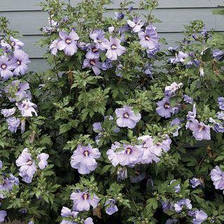 Hibiscus Azurri Blue Satin®
