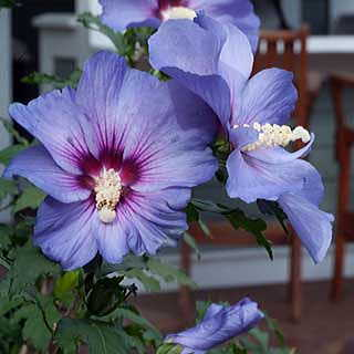 Hibiscus Shrub Plants A Must Have Perennial Plant For A Sunny