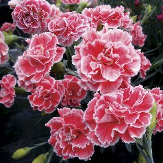 Dianthus Scent First® 'Coral Reef'