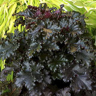 Black Taffeta Coral Bells