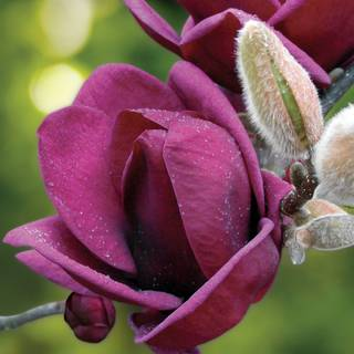 'Genie' Magnolia