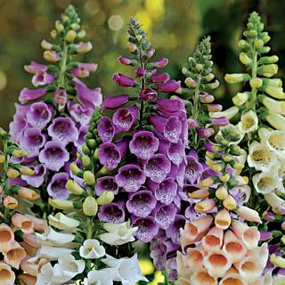 Digitalis 'Dalmatian Purple'
