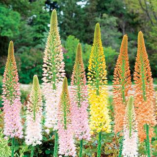 Ruiter's Hybrid Eremurus Mix - Pack of 3