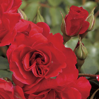 'Crush on You' Floribunda Rose Image