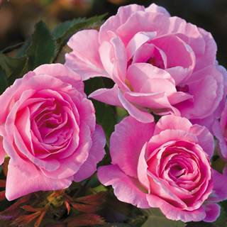 'Wedding Party' Floribunda Rose Image