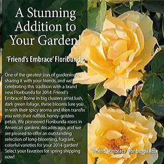 Friend's Embrace Floribunda Rose Image