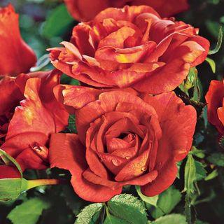 'Laura Bush' 24-inch Tree Rose