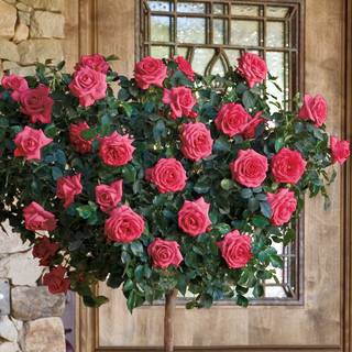 'Astounding Glory' 36-inch Tree Rose
