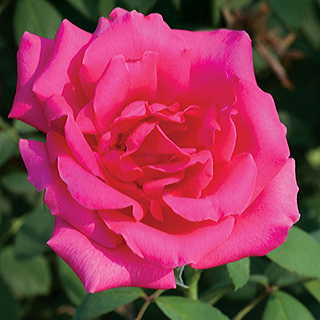 Astounding Glory 36-inch Tree Rose