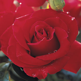 Veterans' Honor® 36-inch Tree Rose Image