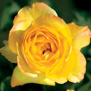 'Summer Surprise' 36-inch Tree Rose