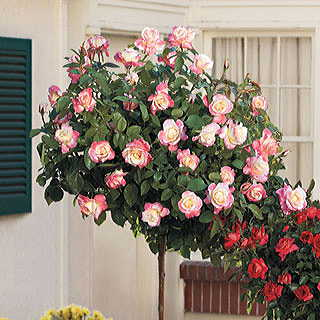 'Peace' 36-inch Standard Tree Rose