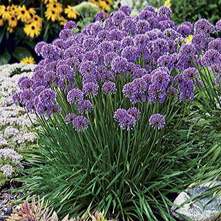Allium 'Millenium' Image
