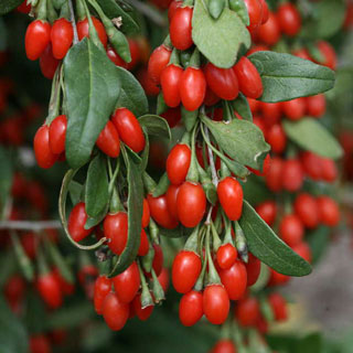 Lycium barbarum Goji Sweet LifeBerry® Image
