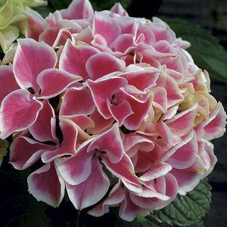 Hydrangea Edgy® Hearts