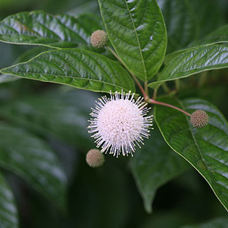 Sugar Shack™ Cephalanthus occidentalis Dwarf Buttonbush Shrub