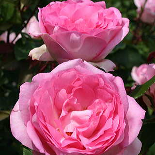 Beverly™ Eleganza® Hybrid Tea Rose Image