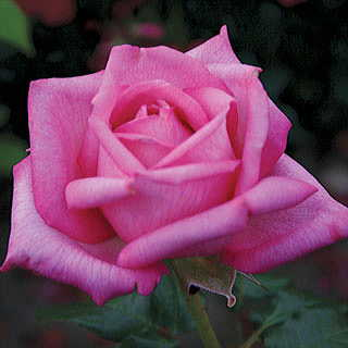 Wedding Bells™ Eleganza® Hybrid Tea Rose