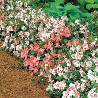 Rhododendron 'Hilda Niblett'