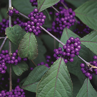 American Beautyberry Image