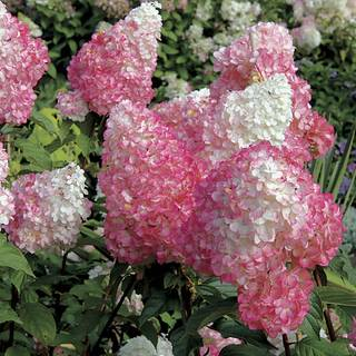 'Vanilla Strawberry' Hydrangea