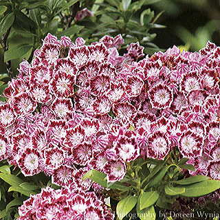 Bullseye Mountain Laurel