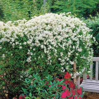 Sweet Autumn Clematis Image