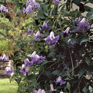 Clematis 'Betty Corning' Image