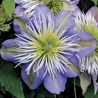 Crystal Fountain™ Clematis