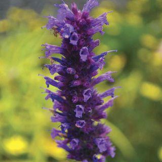 Agastache 'Blue Boa' Image