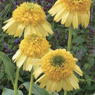Echinacea Meteor™ Yellow