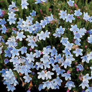 Crystal Blue Lithodora