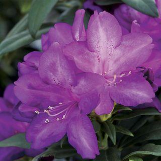 Purple Passion Rhododendron