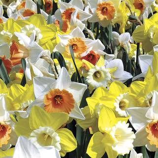 Narcissus Citrus Splash Mix Image