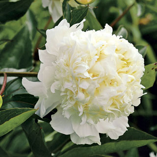 Paeonia Charlie's White