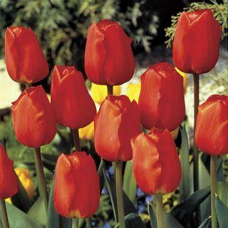 Tulip Lightning Sun